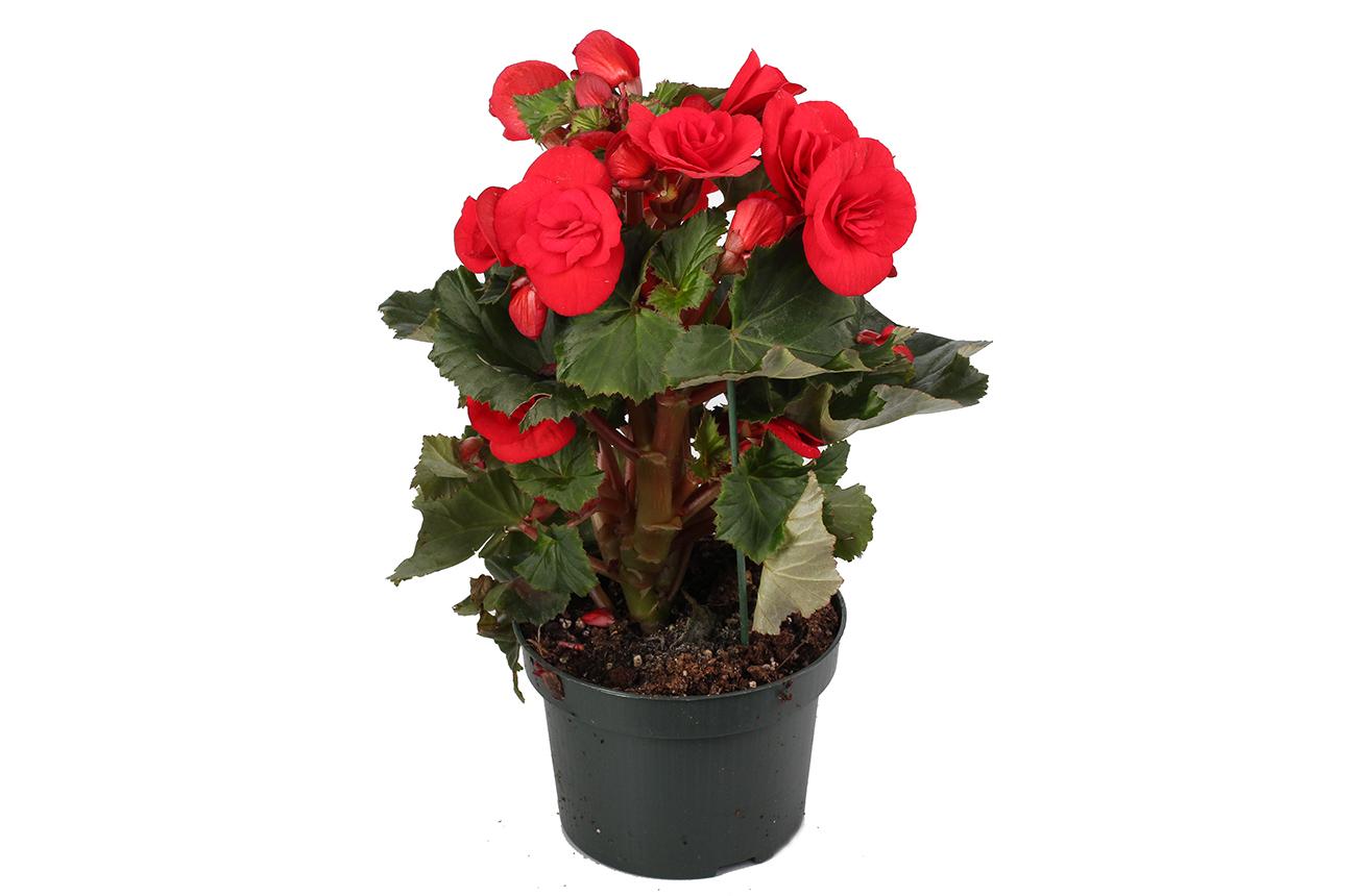 Бегония - уход в домашних условиях, цветение, размножение 92
