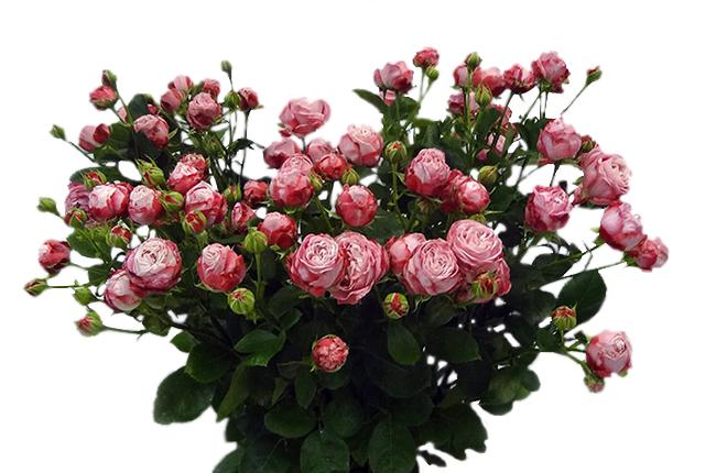Роза бомбастик кустовая