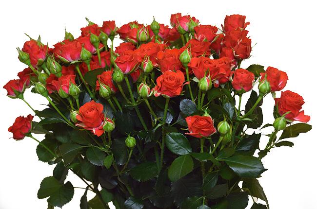 Кустовая красная роза