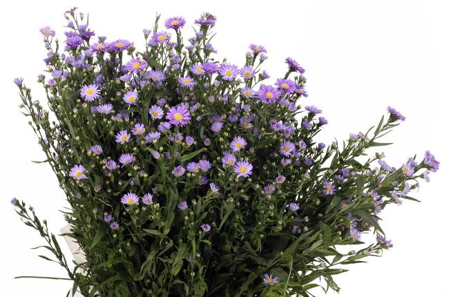 цветы астры сорт монте казино